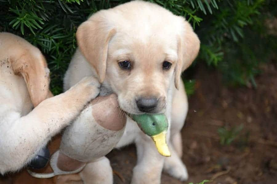hunting dog names - lab with duck