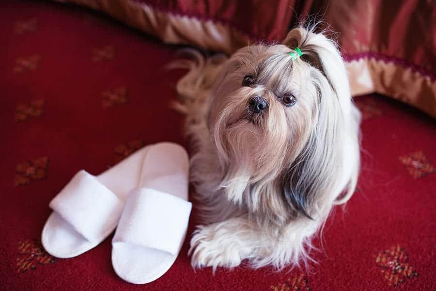 celebrity dog names - fancy shih tzu