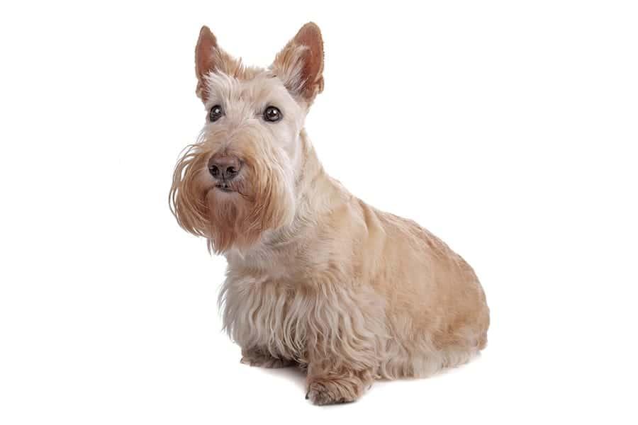 scottish terrier - scottish dog names