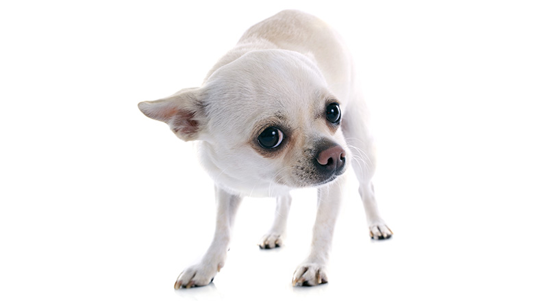 scared dog in front of white background