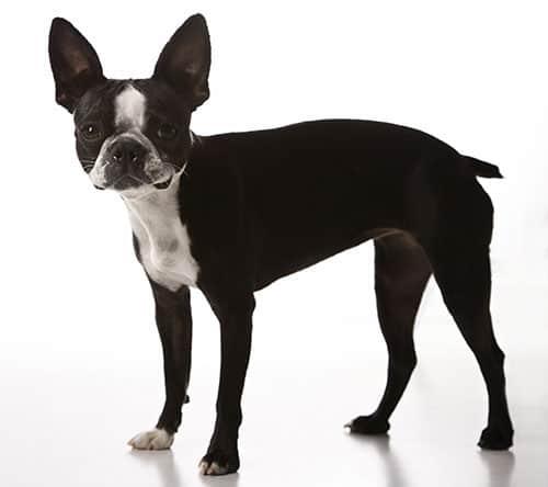 Boston Terrier breed