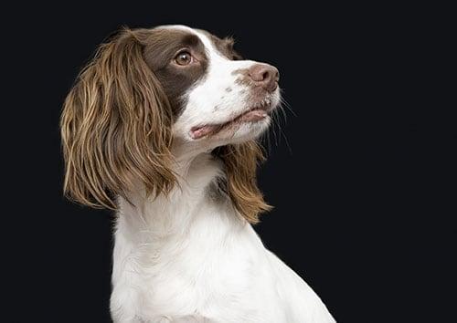 English Springer Spaniel breed