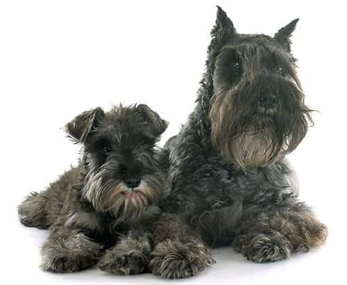 Miniature Schnauzer breed