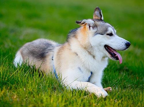 Siberian Husky breed
