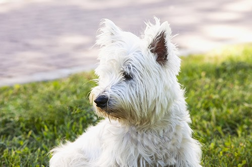 West Highland White Terrier breed