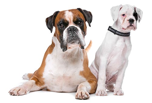 boxer breed