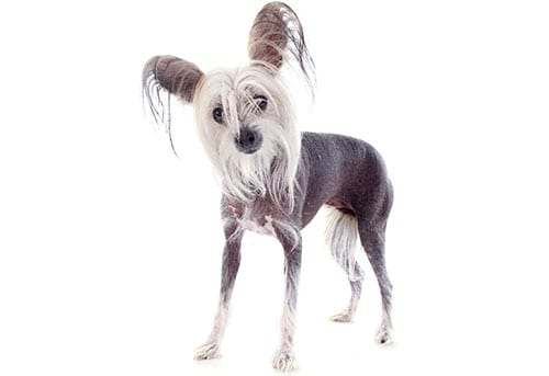 chinese crested dog breed