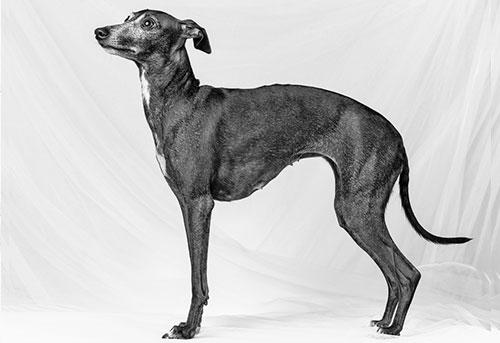 italian greyhound breed