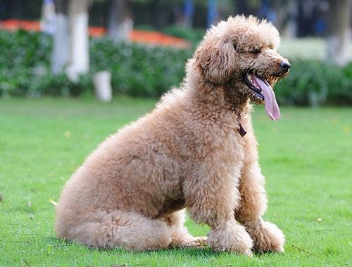 poodle breed