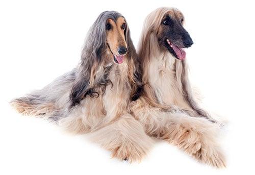 afghan hound breed