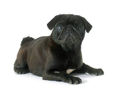 pug-names-2
