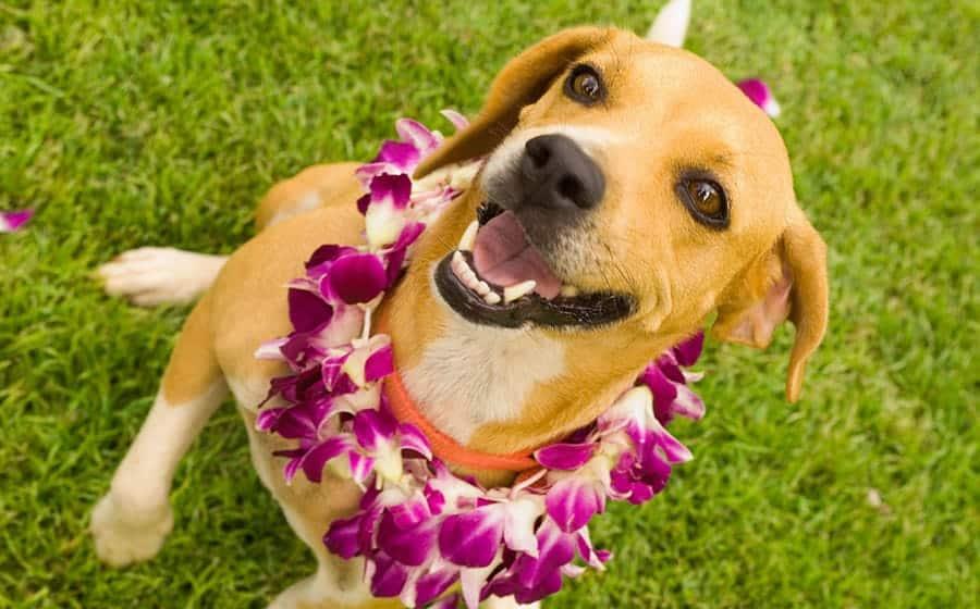 hawaiian dog names - dog wearing lei