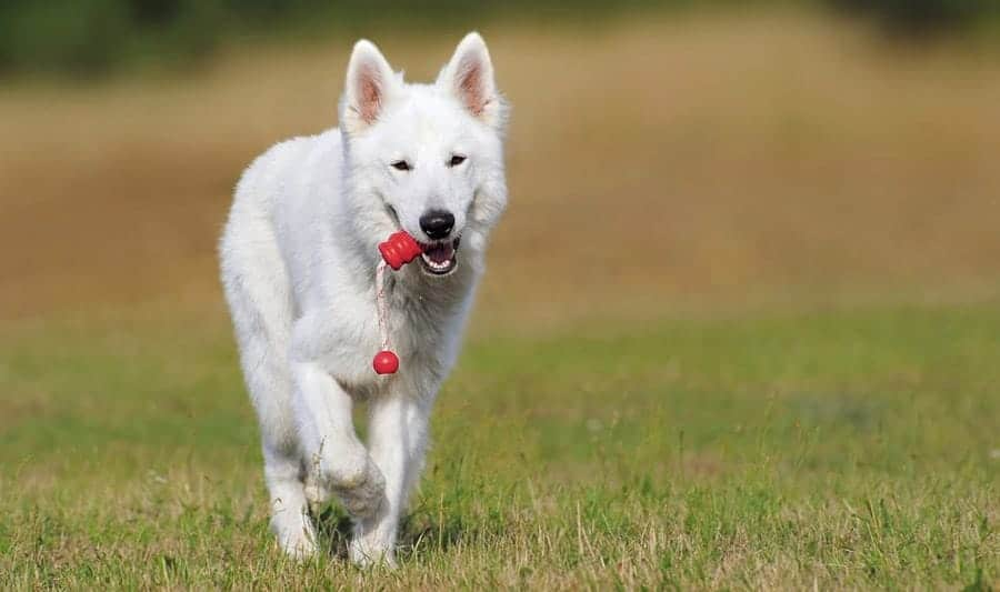 White Dog Names - white dog with kong