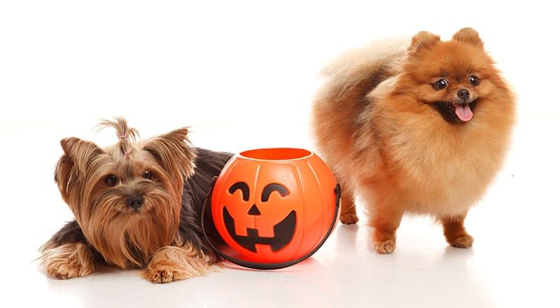 dogs with halloween pumpkin