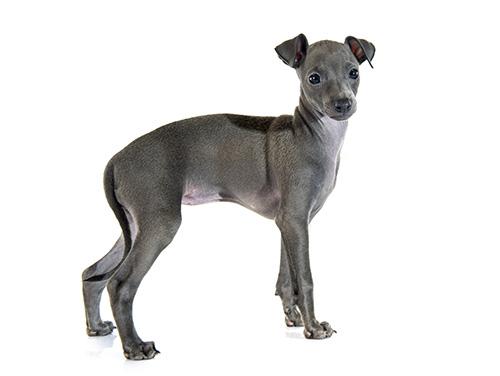 italian-greyhound-breed