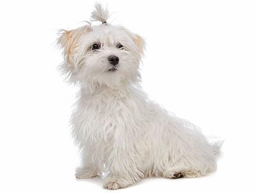 maltese-breed