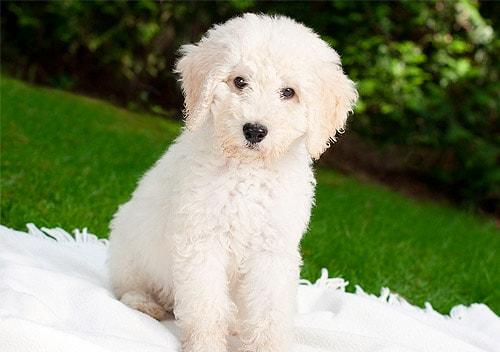 hypoallergenic dog breeds labradoodle