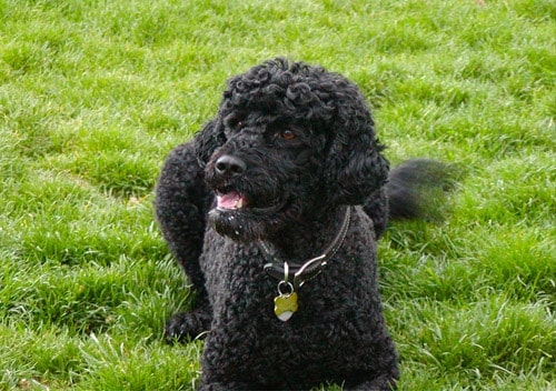 portuguese water dog on grass