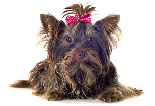 yorkshire-terrier-breed