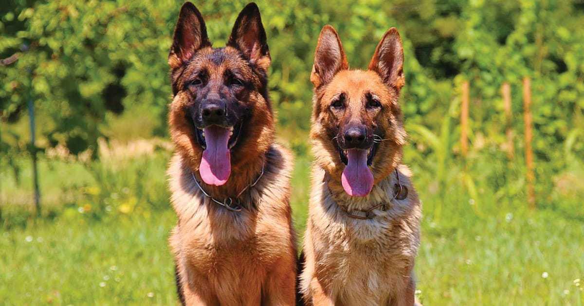 two german shepherds