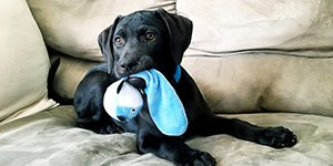 thumbnail - dog with kong on couch