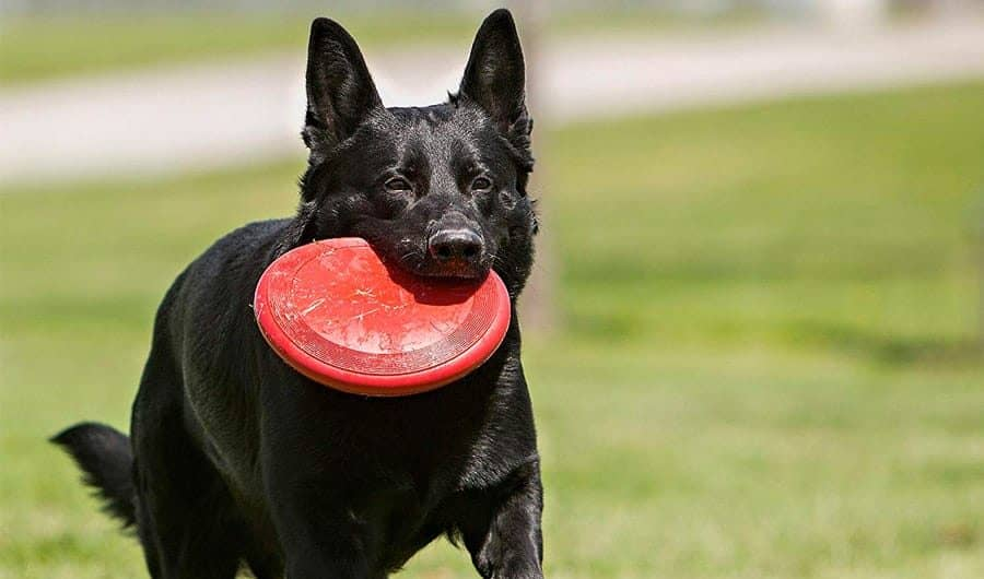 kong flyer frisbee dog