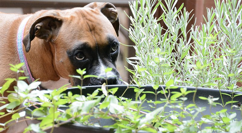 Plants Poisonous to Dogs