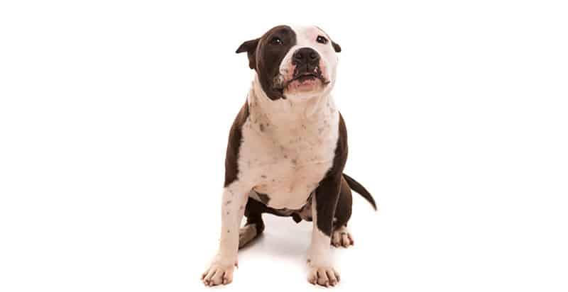 pitbull sitting