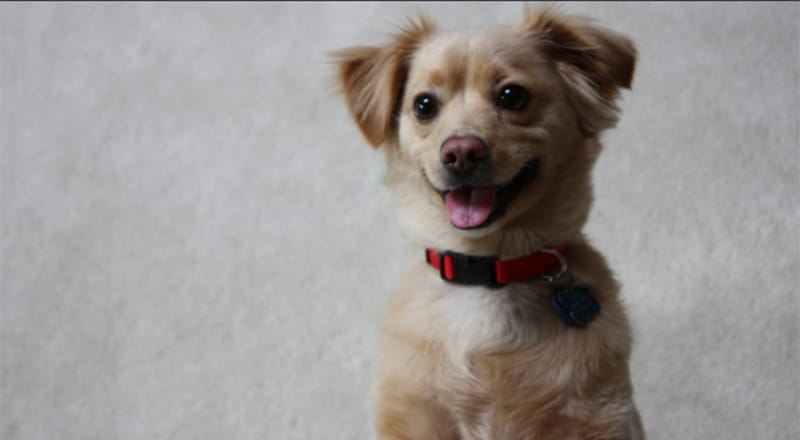 Golden Retriever Chihuahua Mix: A Sweet & Sassy Pup