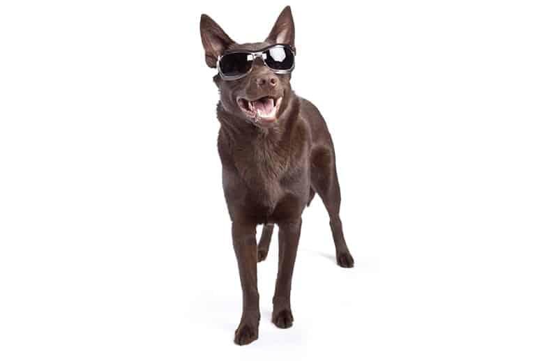 Badass Dog with sunglasses