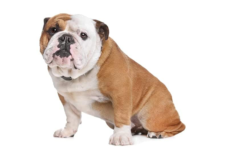 Bulldog Names
