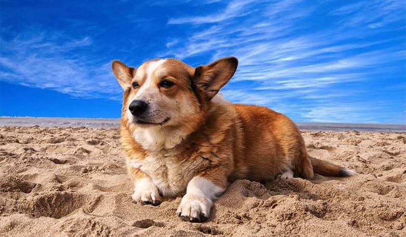 Corgi on the sand