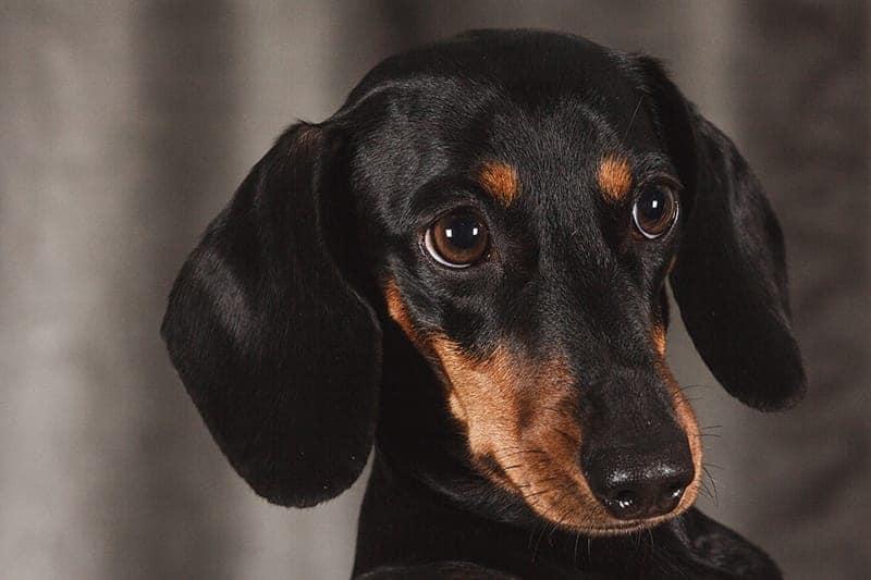 Cute dachshund with big eyes