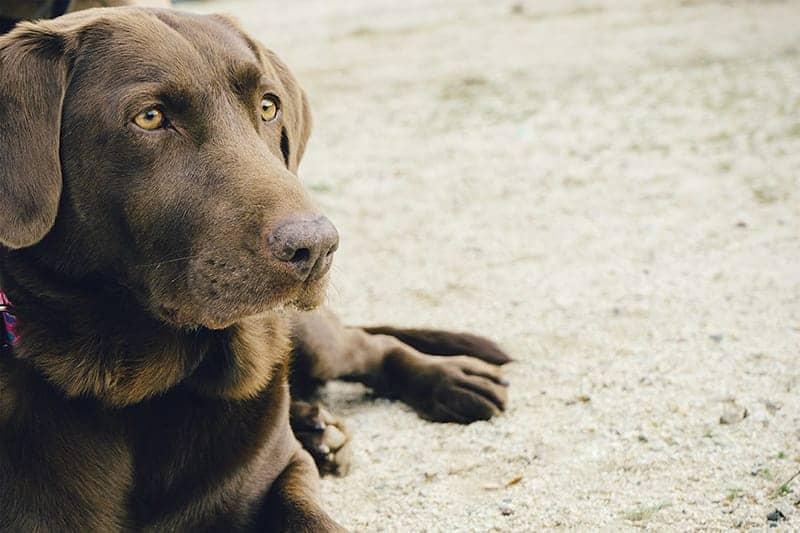 Labrador Names