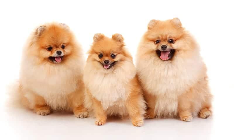 Pomeranian Names