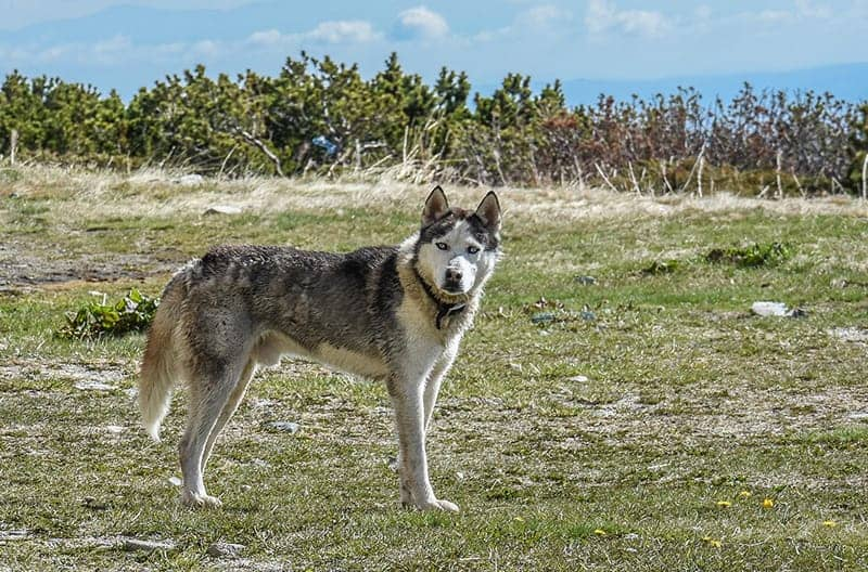 Russian Dog Names - dog in tundra