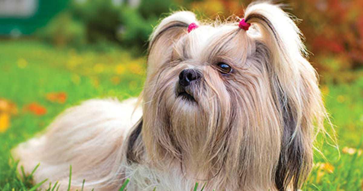 shih tzu hypoallergenic dog