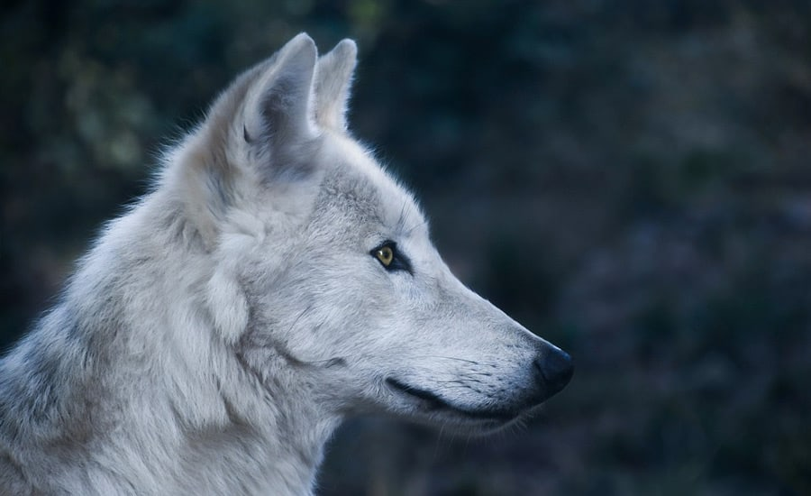 game of thrones wolf