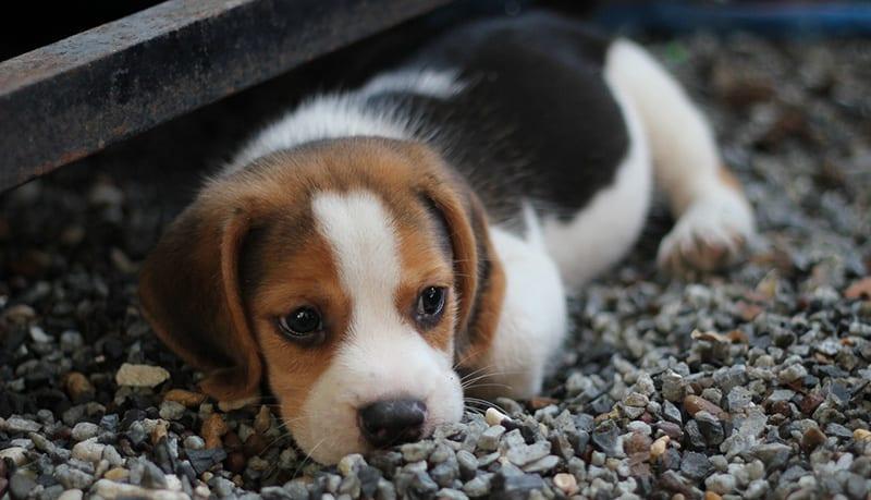 Beagle price