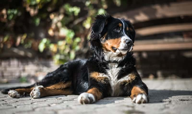 Bernese Mountain Dog price