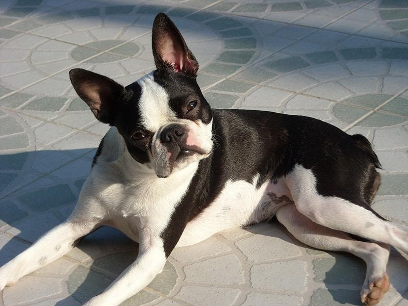 Boston Terrier price