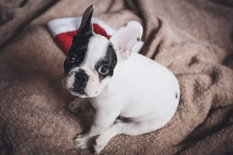 French Bulldog price