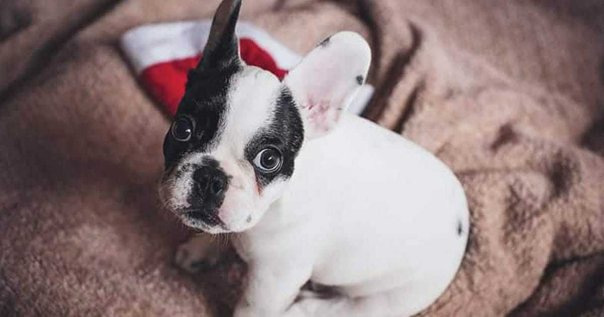 french bulldog with christmas hat