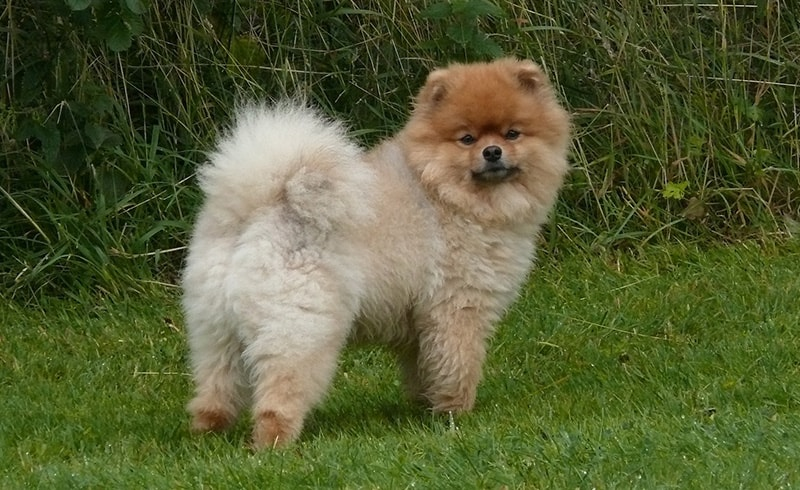 How much is a Pomeranian?