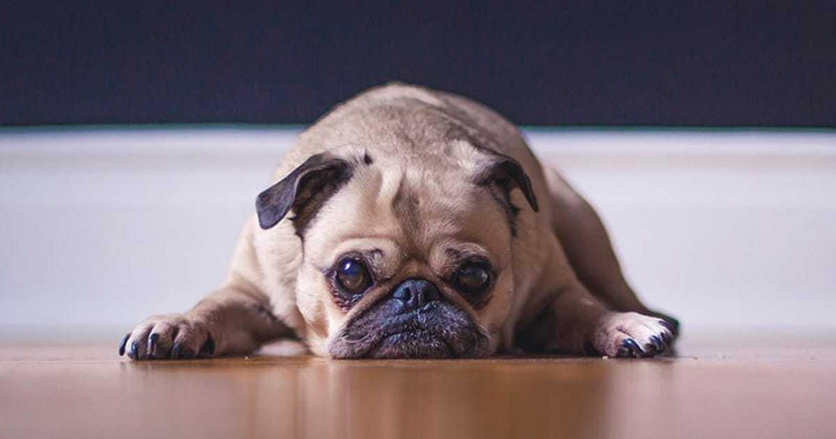 pug laying on wood floor