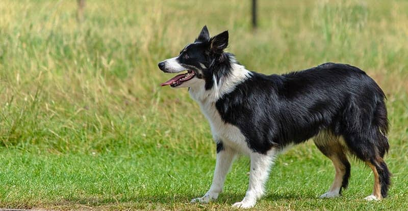 Border Collie Australian Shepherd Mix