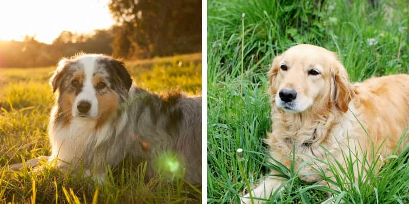 Australian Shepherd Golden Retriever Mix