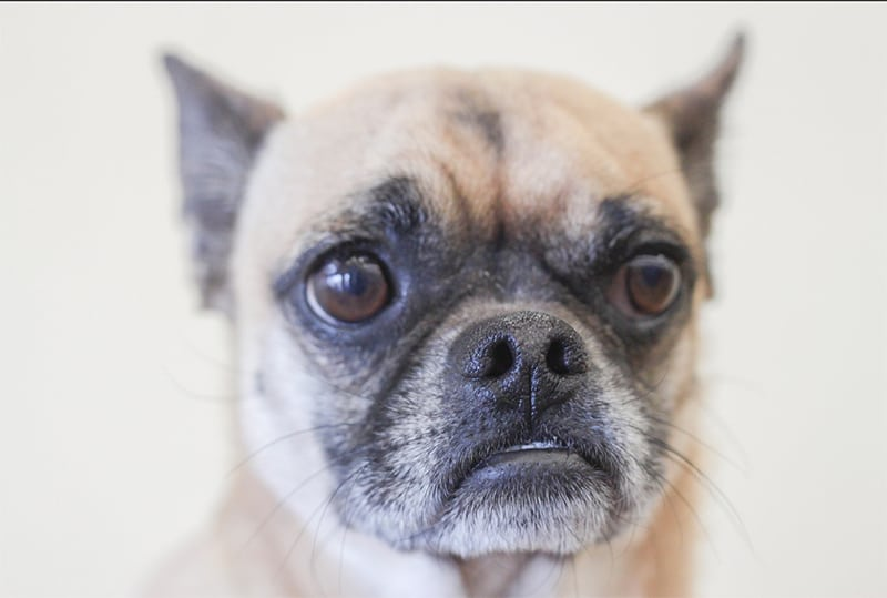 Chihuahua Pug Mix