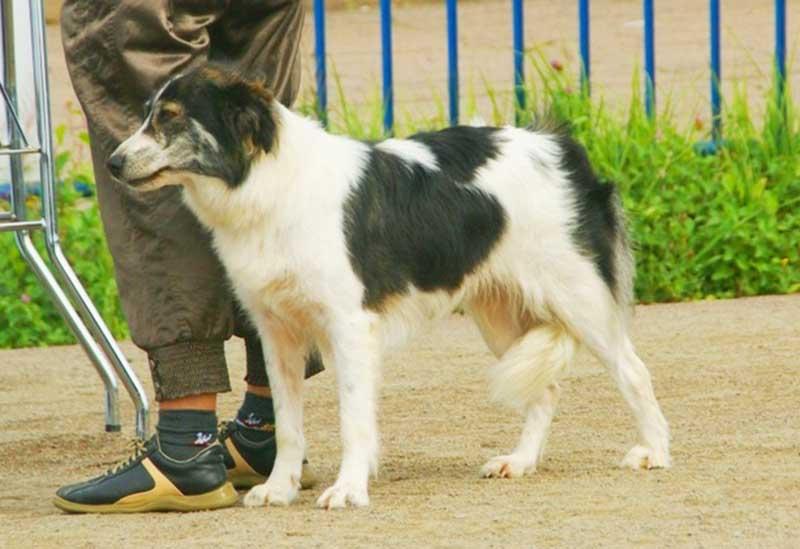African dog breeds - Aidi