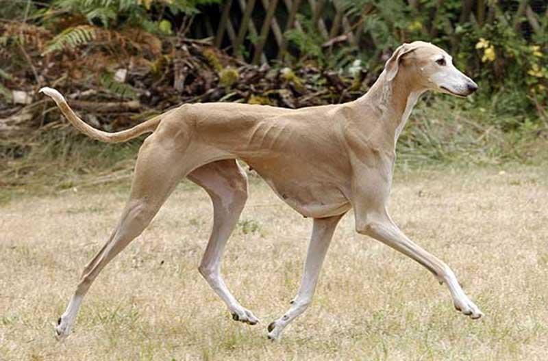 African dog breeds - Azawakh